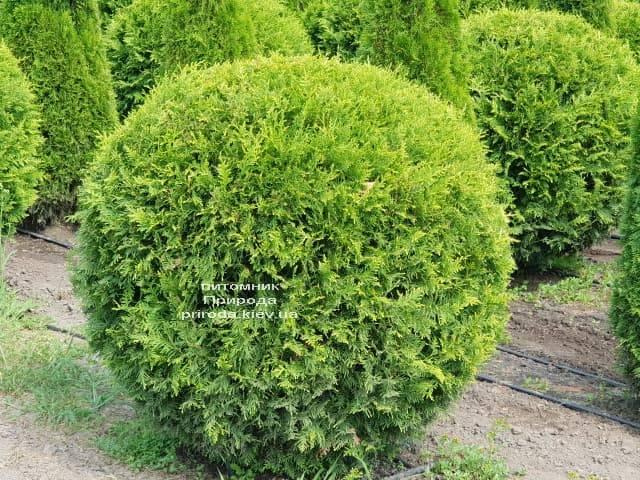 Туя західна Брабант Куля (Thuja occidentalis Brabant Boll) ФОТО Розплідник рослин Природа (3)