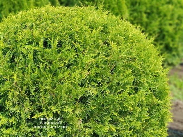 Туя західна Брабант Куля (Thuja occidentalis Brabant Boll) ФОТО Розплідник рослин Природа (4)