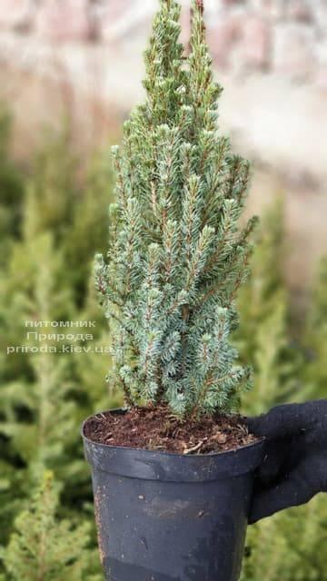 Ялина канадська Сандерс Блю (Picea glauca Sanders Blue) ФОТО Розплідник рослин Природа (1)