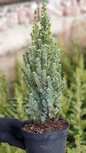 Ялина канадська Сандерс Блю (Picea glauca Sanders Blue) ФОТО Розплідник рослин Природа (2)