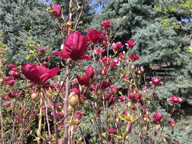 Магнолія Джені (Magnolia Genie) ФОТО Розплідник рослин Природа (26)