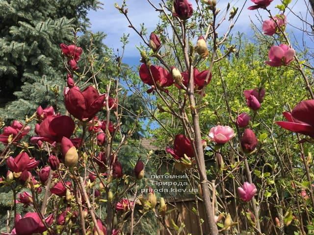 Магнолія Джені (Magnolia Genie) ФОТО Розплідник рослин Природа (27)