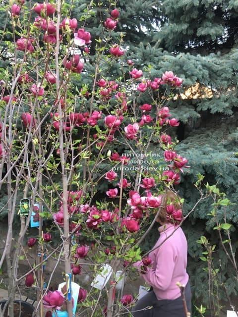 Магнолія Джені (Magnolia Genie) ФОТО Розплідник рослин Природа (28)