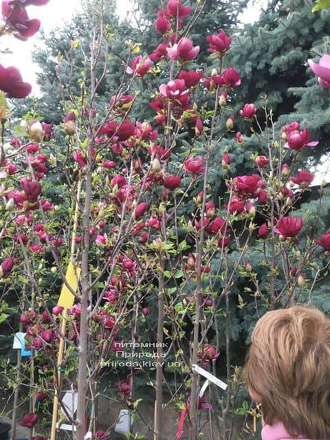 Магнолія Джені (Magnolia Genie) ФОТО Розплідник рослин Природа (29)