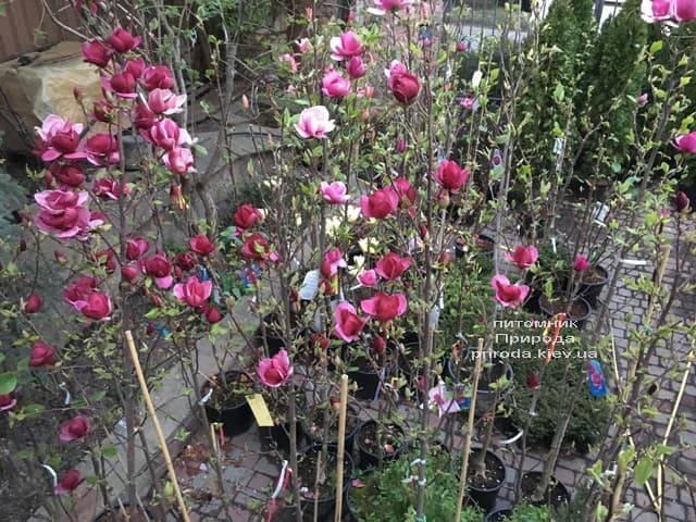 Магнолія Джені (Magnolia Genie) ФОТО Розплідник рослин Природа (30)