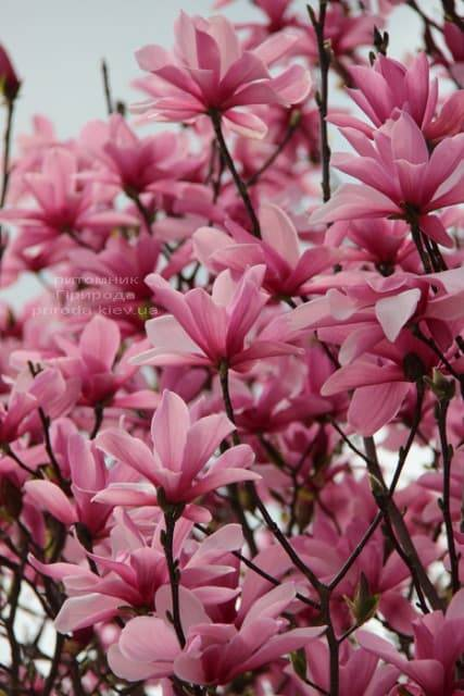Магнолия Суланжа Галакси (Magnolia soulangeana Galaxy) ФОТО Питомник растений Природа (1)