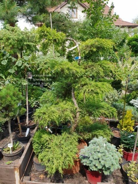 Бонсай Ялівець пфітцеріана (Juniperus pfitzeriana Bonsai) ФОТО Розплідник рослин Природа (1)