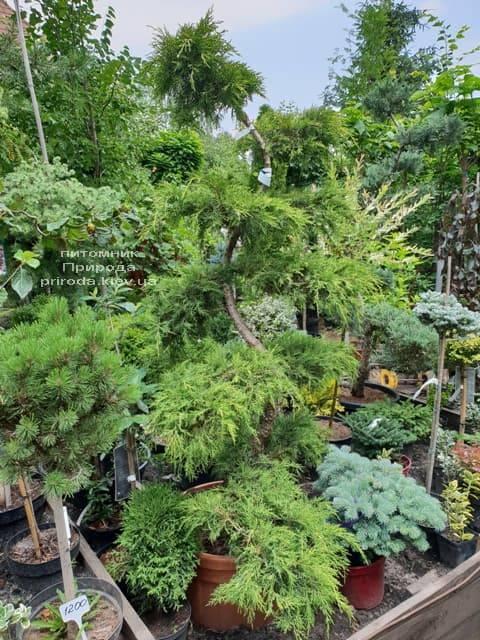 Бонсай Ялівець пфітцеріана (Juniperus pfitzeriana Bonsai) ФОТО Розплідник рослин Природа (2)