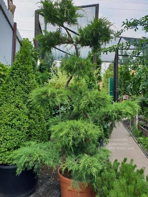 Бонсай Ялівець пфітцеріана (Juniperus pfitzeriana Bonsai) ФОТО Розплідник рослин Природа (3)