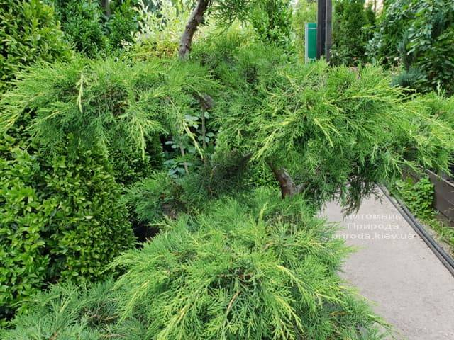 Бонсай Ялівець пфітцеріана (Juniperus pfitzeriana Bonsai) ФОТО Розплідник рослин Природа (4)