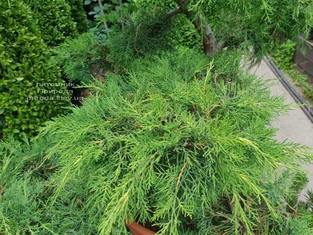 Бонсай Ялівець пфітцеріана (Juniperus pfitzeriana Bonsai) ФОТО Розплідник рослин Природа (5)