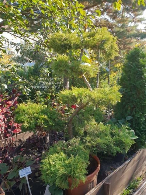 Бонсай Ялівець пфітцеріана (Juniperus pfitzeriana Bonsai) ФОТО Розплідник рослин Природа (6)