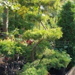 Бонсай Ялівець пфітцеріана (Juniperus pfitzeriana Bonsai) ФОТО Розплідник рослин Природа (7)