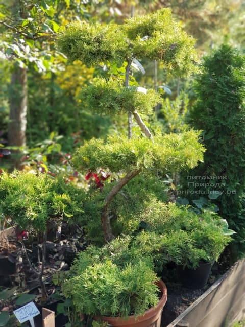 Бонсай Можжевельник пфитцериана (Juniperus pfitzeriana Bonsai) ФОТО Питомник растений Природа (7)