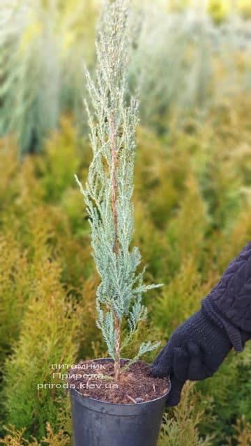 Можжевельник скальный Блю Арроу (Блю Эрроу) (Juniperus scopolorum Blue Arrow) ФОТО Питомник растений Природа (13)