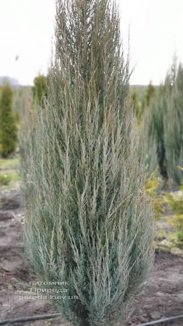 Можжевельник скальный Блю Арроу (Блю Эрроу) (Juniperus scopolorum Blue Arrow) ФОТО Питомник растений Природа (19)