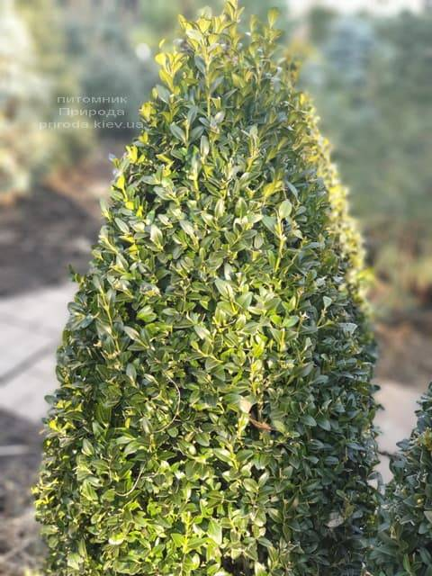 Самшит вечнозелёный Конус ФОТО Питомник растений Природа (9)