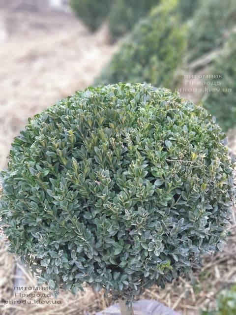 Самшит вічнозелений Куля (Buxus sempervirens Boll) ФОТО Розплідник рослин Природа (5)