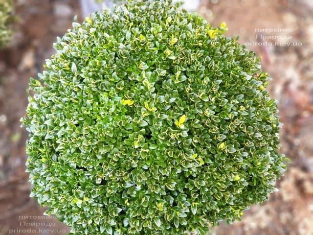 Самшит вечнозелёный Шар (Buxus sempervirens Boll) ФОТО Питомник растений Природа (8)