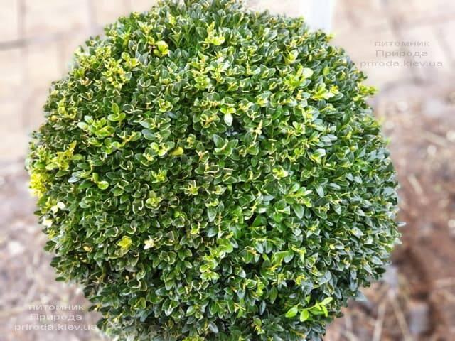 Самшит вічнозелений Куля (Buxus sempervirens Boll) ФОТО Розплідник рослин Природа (9)