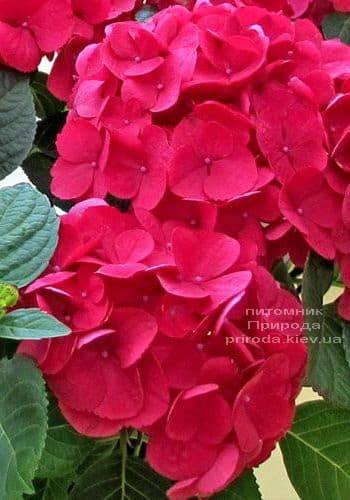 Гортензия крупноцветковая Рэд Барон (Hydrangea macrophylla Red Baron) ФОТО Питомник растений Природа (1)