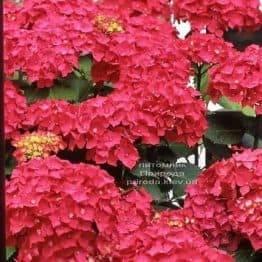 Гортензія великоквіткова Ред Барон (Hydrangea macrophylla Red Baron) ФОТО Розплідник рослин Природа (2)