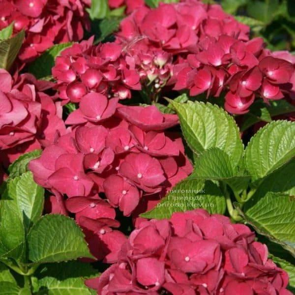 Гортензия крупноцветковая Рэд Барон (Hydrangea macrophylla Red Baron) ФОТО Питомник растений Природа (3)