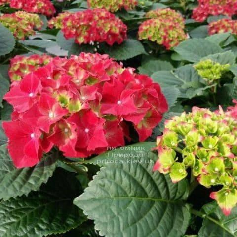 Гортензия крупноцветковая Роял Рэд (Hydrangea macrophylla Royal Red) ФОТО Питомник растений Природа (1)