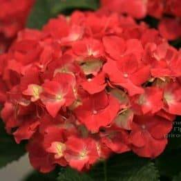 Гортензія великоквіткова Роял Ред (Hydrangea macrophylla Royal Red) ФОТО Розплідник рослин Природа (2)