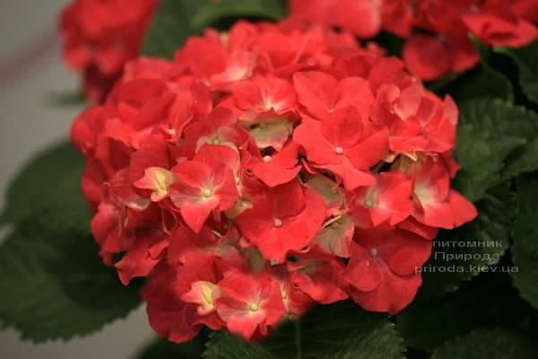Гортензия крупноцветковая Роял Рэд (Hydrangea macrophylla Royal Red) ФОТО Питомник растений Природа (2)