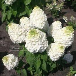 Гортензія волотисте Меджікал Мон Блан (Hydrangea paniculata Magical Mont Blanc) ФОТО Розплідник рослин Природа (1)