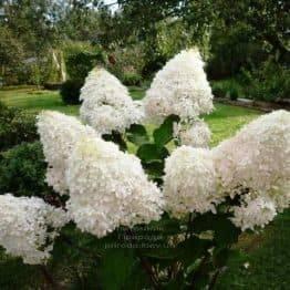 Гортензія волотисте Фантом (Hydrangea paniculata Phantom) ФОТО Розплідник рослин Природа (3)