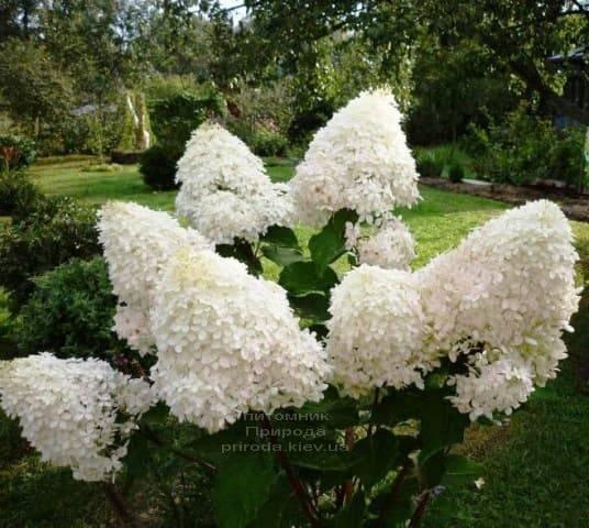 Гортензия метельчатая Фантом (Hydrangea paniculata Phantom) ФОТО Питомник растений Природа (3)