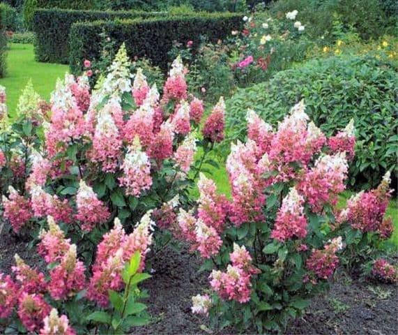 Гортензія волотисте Пінкі Вінкі (Hydrangea paniculata Pinky Winky) ФОТО Розплідник рослин Природа (1)