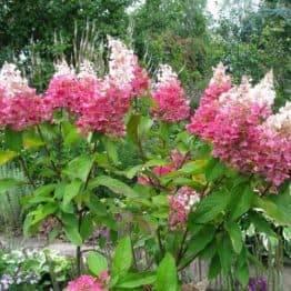 Гортензія волотисте Пінкі Вінкі (Hydrangea paniculata Pinky Winky) ФОТО Розплідник рослин Природа (2)