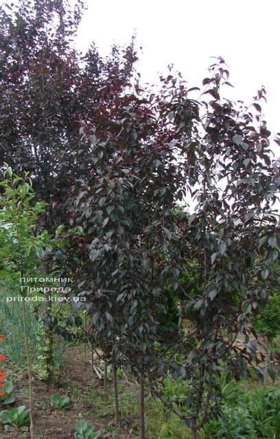 Яблоня декоративная Роялти (Malus Royalty) ФОТО Питомник растений Природа (1)