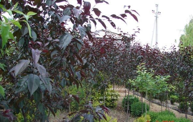 Яблоня декоративная Роялти (Malus Royalty) ФОТО Питомник растений Природа (2)