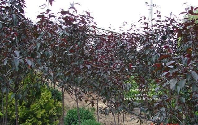 Яблоня декоративная Роялти (Malus Royalty) ФОТО Питомник растений Природа (3)