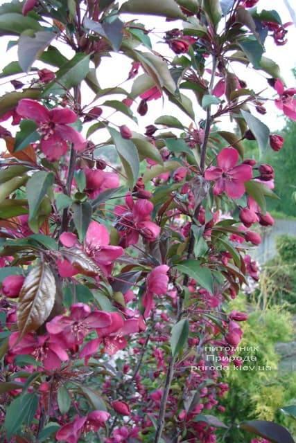Яблоня декоративная Роялти (Malus Royalty) ФОТО Питомник растений Природа (4)