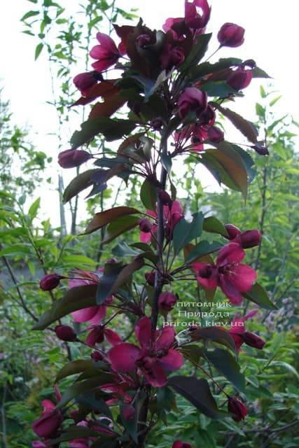 Яблоня декоративная Роялти (Malus Royalty) ФОТО Питомник растений Природа (5)