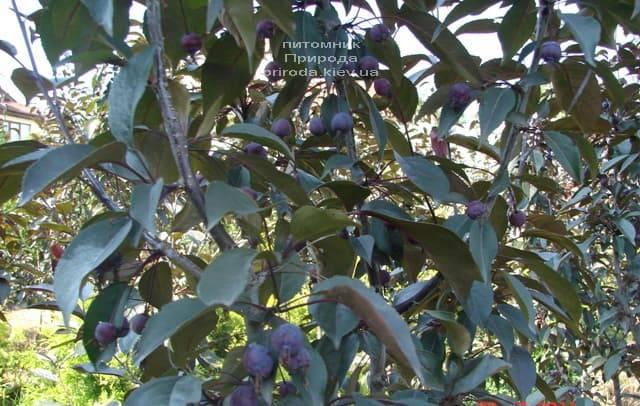 Яблоня декоративная Роялти (Malus Royalty) ФОТО Питомник растений Природа (6)