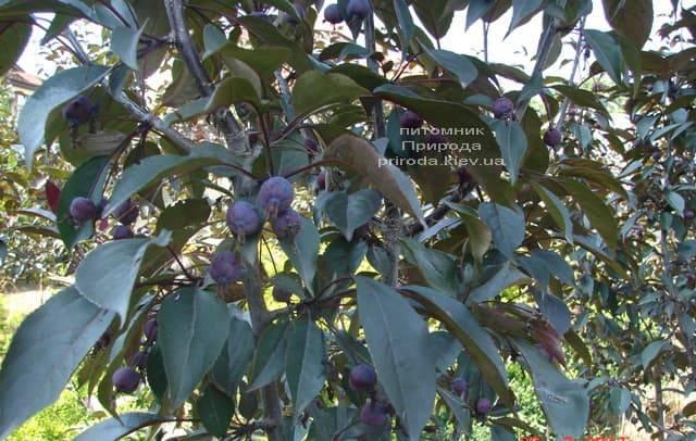 Яблоня декоративная Роялти (Malus Royalty) ФОТО Питомник растений Природа (7)