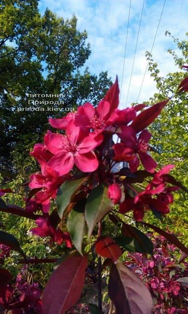 Яблоня декоративная Роялти (Malus Royalty) ФОТО Питомник растений Природа (8)