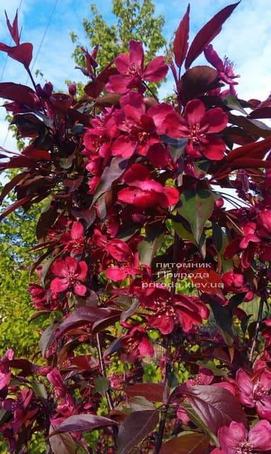 Яблоня декоративная Роялти (Malus Royalty) ФОТО Питомник растений Природа (9)