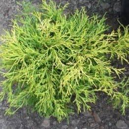 Кипарисовик горохоплодный Санголд (Chamaecyparis pisifera Sungold) ФОТО Питомник растений Природа (1)