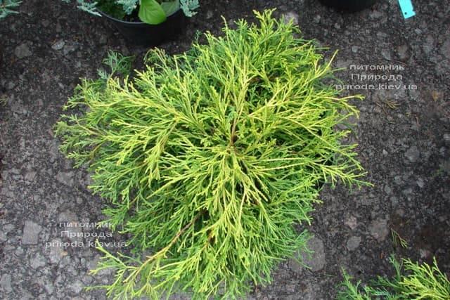 Кипарисовик горохоплодный Санголд (Chamaecyparis pisifera Sungold) ФОТО Питомник растений Природа (2)