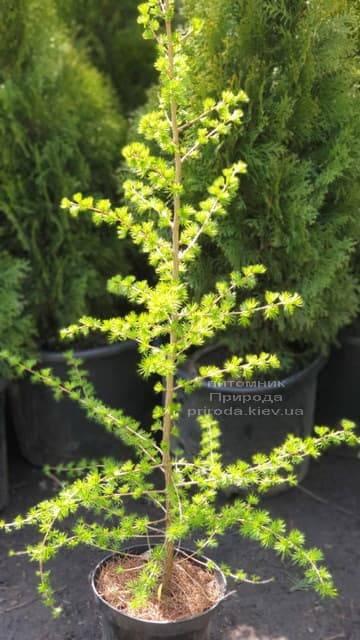 Лиственница европейская (Larix decidua) ФОТО Питомник растений Природа (3)