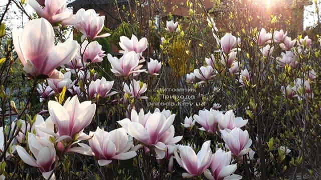 Магнолія Суланжа (Magnolia soulangeana) ФОТО Розплідник рослин Природа (10)