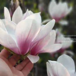 Магнолия Суланжа (Magnolia soulangeana) ФОТО Питомник растений Природа (11)