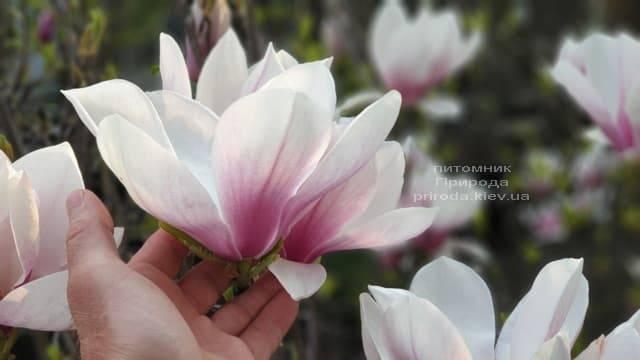 Магнолія Суланжа (Magnolia soulangeana) ФОТО Розплідник рослин Природа (11)